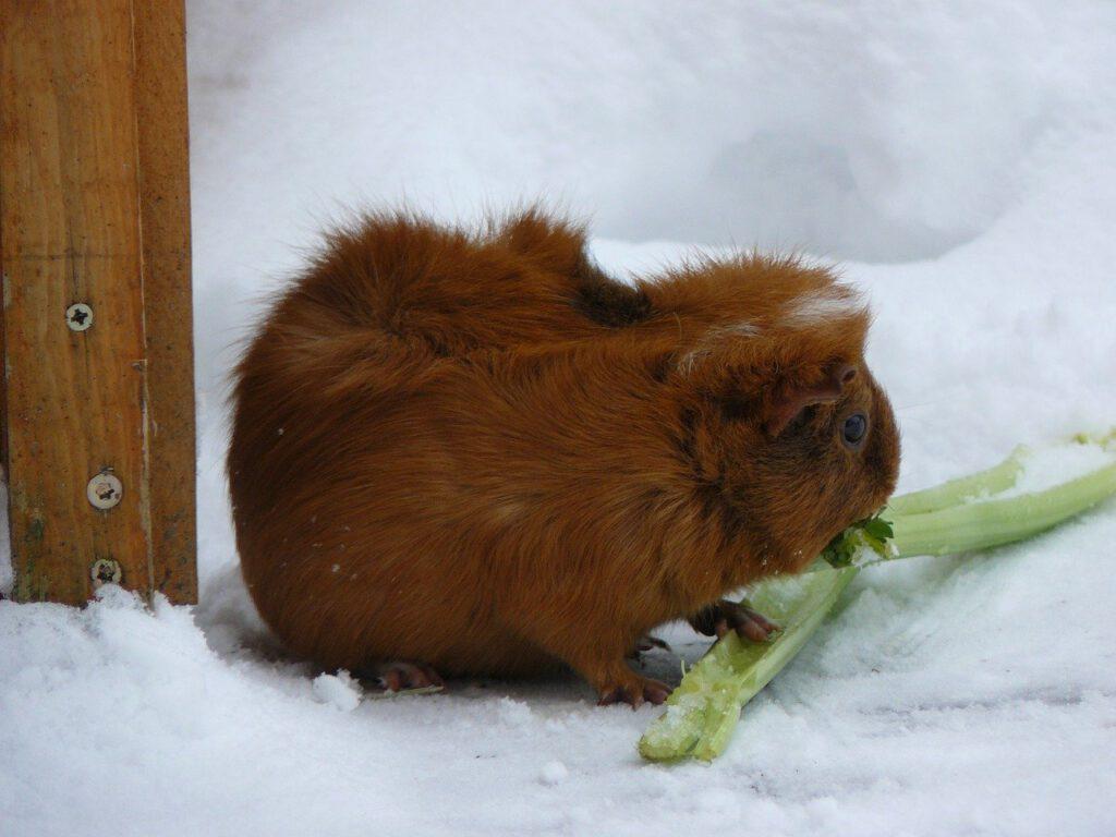 cavia in de sneeuw