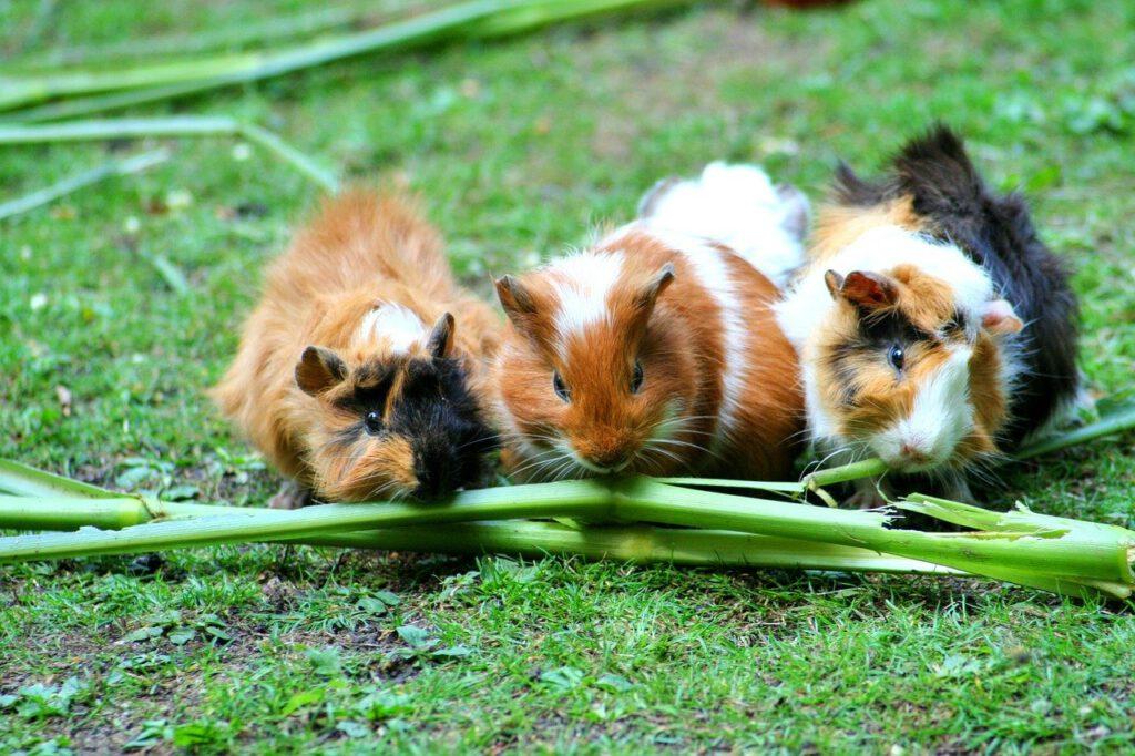 Groepje cavia's die gras eet