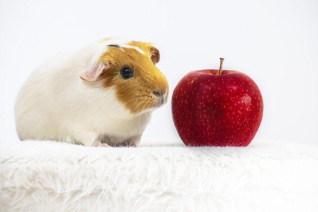 cavia met appel