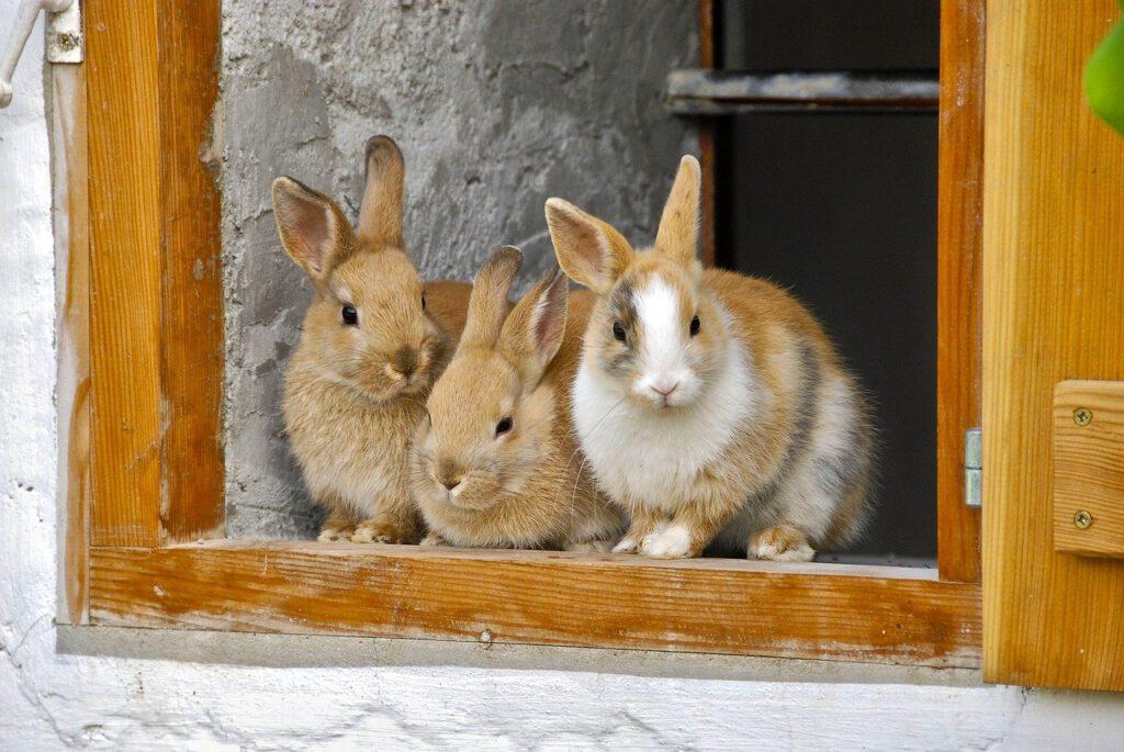Groepje konijnen